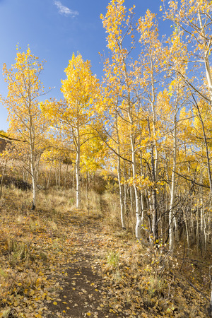 flanked: A hillside trail flanked by golden quaking aspen trees at Kenosha Pass, Colorado. Stock Photo