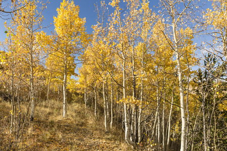 A hillside trail flanked by golden quaking aspen trees at Kenosha Pass, Colorado. Stock Photo
