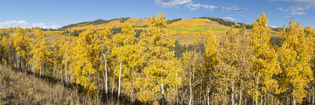 quaking aspen: A hillside full of golden aspen trees with the Twin Peaks in the background at Kenosha Pass, Colorado.