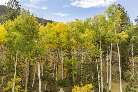 A small grove of tall curving white aspen trunks in Wilkerson Pass, Colorado.