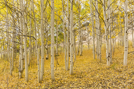 A golden carpet of leaves below the white trunks of quaking aspen trees  in Wilkerson Pass, Colorado. Stock Photo