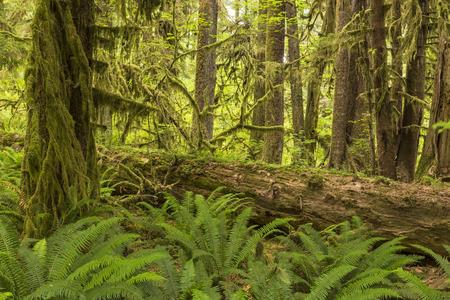 cicuta: Helechos exuberantes rodean un gran registro en la selva tropical de Hoh en Parque Nacional Olympic, Washington. Foto de archivo