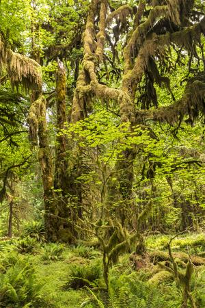 cicuta: Los árboles jóvenes y viejos arce cubiertas de musgo en medio de un claro en la selva tropical de Hoh en Parque Nacional Olympic, Washington.