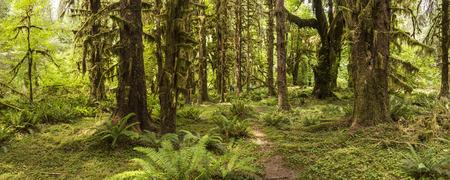 hemlock: Imagen panorámica de la selva tropical de Hoh en el Pasillo de musgos sendero en el Parque Nacional Olympic, Washington. Foto de archivo