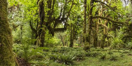cicuta: Imagen panor�mica de la selva tropical de Hoh en el Pasillo de musgos sendero en el Parque Nacional Olympic, Washington. Foto de archivo