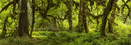 hemlock: Pasillo de musgos Panorama