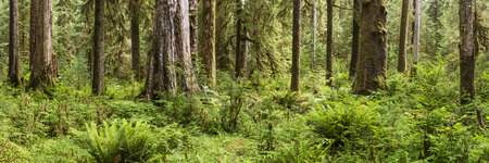 temperate: Panoramic image of the Hoh Rainforest on the Hall of Mosses trail in Olympic National Park, Washington.