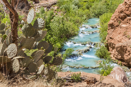 indian creek: Prickly pear cactus on the cliffs above turquoise Havasu Creek on the Havasupai Indian Reservation in the Grand Canyon.