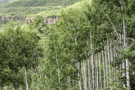quaking aspen: A stand of quaking aspen trees below a red rock cliff in the alpine La Sal Mountains of Utah Stock Photo