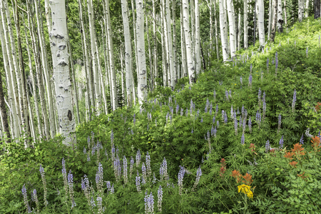 quaking aspen: A stand of quaking aspen trees on a lush slope over Lupine and other wildflowers in the alpine La Sal Mountains of Utah