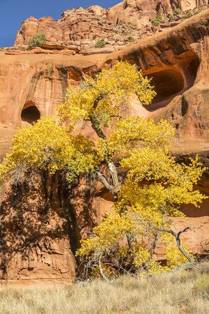 A Cottonwood Tree in full Autumn color against the red rock cliffs and caves of Neon Canyon, Grand Staircase Escalante National Monument, Utah.