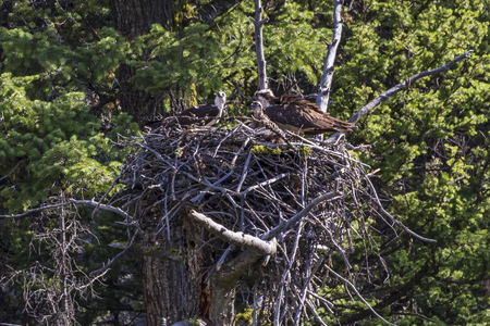 A mated pair of Osprey and one chick in a large nest in the Lamar Valley in Yellowstone Naitonal Park, Wyoming