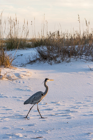A great blue heron walks on Fort Pickens Beach in the Gulf Islands National Seashore, Florida.