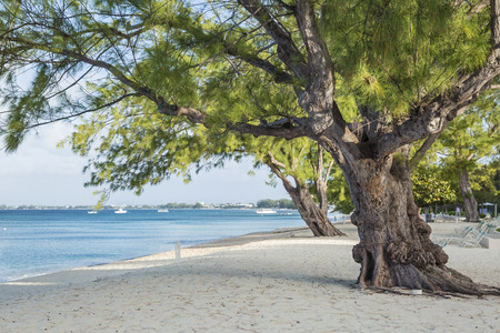 Mighty Casuarina Pine Trees on Seven Mile Beach on Grnd Cayman, Cayman Islands. Reklamní fotografie - 96152766