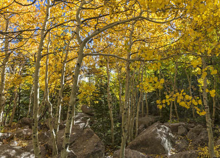 Golden Aspen Trees in early Autumn on the Glacier Gorge Trail in Rocky Mountain National Park, Estes Park, Colorado. 免版税图像