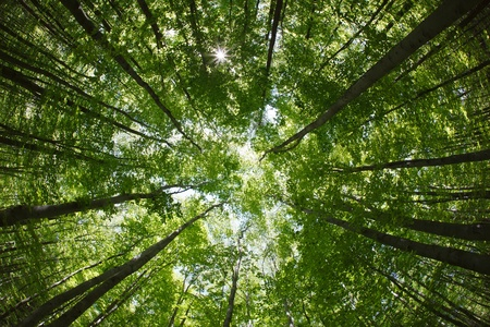 spring forest treetops - beech canopy