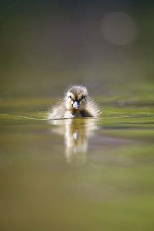 cute little duckling swimming in water photo