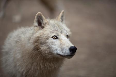 Arctic Wolf (Canis lupus arctos) aka Polar Wolf or White Wolf - Close-up portrait of this beautiful predator Stock Photo - 9697127