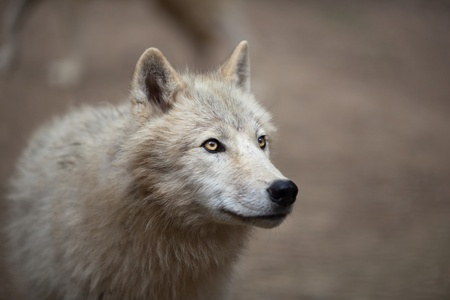 arctic: Arctic Wolf (Canis lupus arctos) aka Polar Wolf or White Wolf - Close-up portrait of this beautiful predator