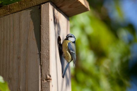 blue tit (Cyanistes caeruleus) by a nesting box photo