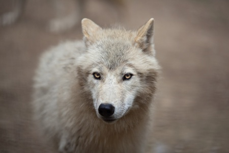 Arctic Wolf (Canis lupus arctos) aka Polar Wolf or White Wolf - Close-up portrait of this beautiful predator Stock Photo - 9787511
