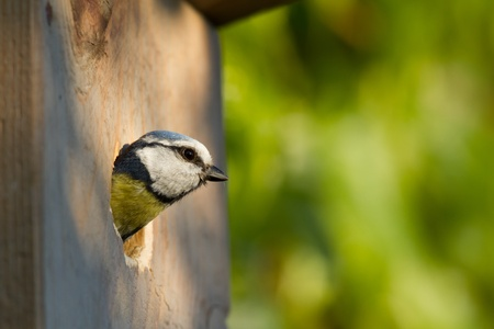 blue tit (Cyanistes caeruleus) peeking out of a nesting box Stock Photo