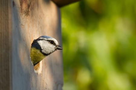 blue tit (Cyanistes caeruleus) peeking out of a nesting box