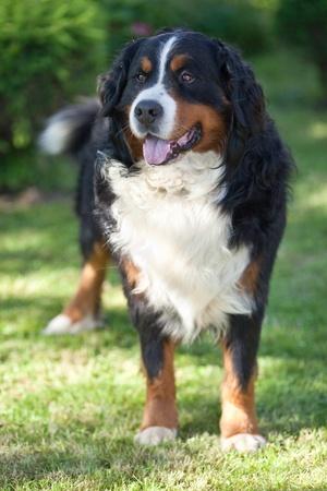 sennenhund: Bernese Mountain Dog (Berner Sennenhund, Bernois) Stock Photo