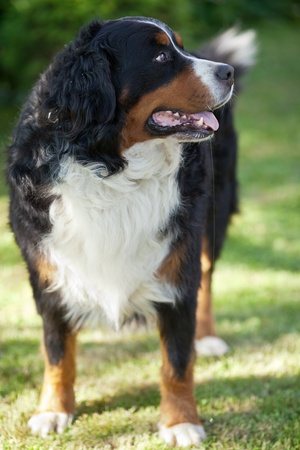 berner: Bernese Mountain Dog (Berner Sennenhund, Bernois) Stock Photo