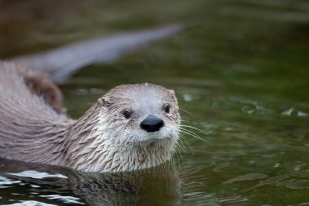 endangered: European Otter (Lutra lutra), also known as Eurasian otter, Eurasian river otter, common otter and Old World otter
