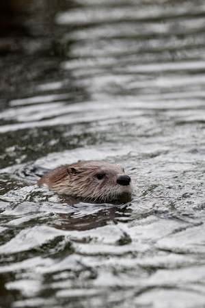 European Otter (Lutra lutra), also known as Eurasian otter, Eurasian river otter, common otter and Old World otter Stock Photo - 9787518