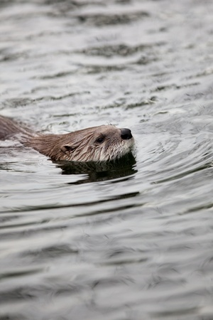 European Otter (Lutra lutra), also known as Eurasian otter, Eurasian river otter, common otter and Old World otter Stock Photo - 9787560