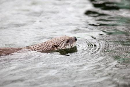 poacher: European Otter (Lutra lutra), also known as Eurasian otter, Eurasian river otter, common otter and Old World otter