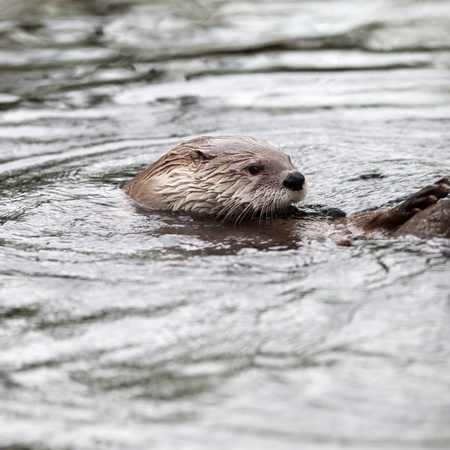 European Otter (Lutra lutra), also known as Eurasian otter, Eurasian river otter, common otter and Old World otter Stock Photo - 9787596