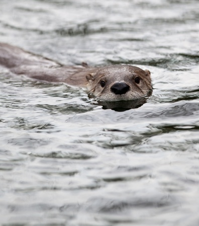 European Otter (Lutra lutra), also known as Eurasian otter, Eurasian river otter, common otter and Old World otter photo