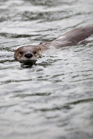 European Otter (Lutra lutra), also known as Eurasian otter, Eurasian river otter, common otter and Old World otter Stock Photo - 9787599