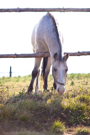 free running: beautiful white horse grazing on grass on a sunny day (color toned image; shallow DOF)