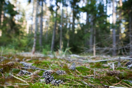 dof: lovely forest scenery - pine tree cones lying in the mossi (shallow DOF; sharp focus on the cone; very high native resolution)