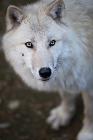 Arctic Wolf (Canis lupus arctos) aka Polar Wolf or White Wolf - Close-up portrait of this beautiful predator Stock Photo - 9808290