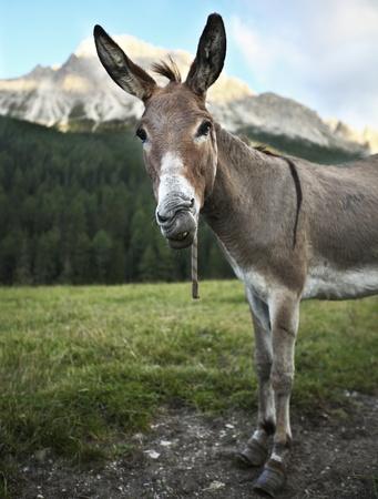 jack ass: carino e divertente permanente all'aperto asino su un terreno agricolo e con lo sguardo a voi