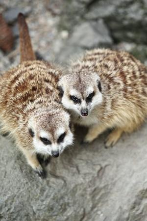 suricate: Funny and cute suricate (meerkat)