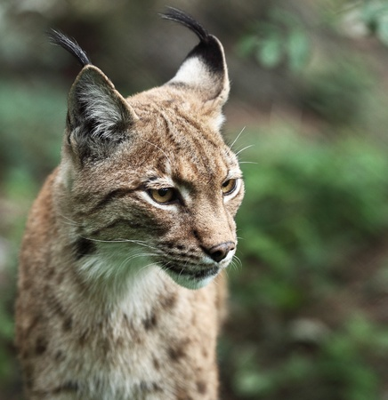 lynx: Close-up portrait of an Eurasian Lynx (Lynx lynx)