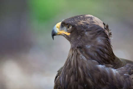 Steppe eagle - close-up portrait of this majestic bird of prey Stock Photo - 9803994