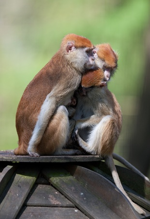 macaques photo