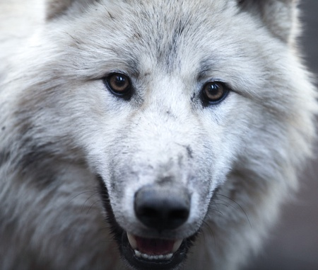 Close up view of a male wolf (Canis lupus) photo