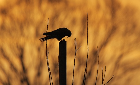 devouring: silhouette of a common kestrel (Falco tinnunculus) sitting on a pole and devouring its pray (small rodent) at dusk