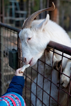 Close up of a billy goat reaching over the fence while being fed by a small kid in a zoo photo