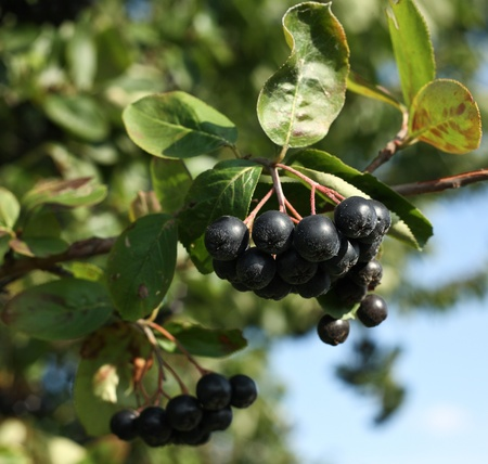 bacca: Black ashberry Black rowan Black chokeberry (Aronia melanocarpa) - branches of the tree in the garden