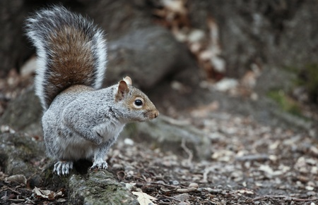 Cute squirrel in the Central Park, NYC photo