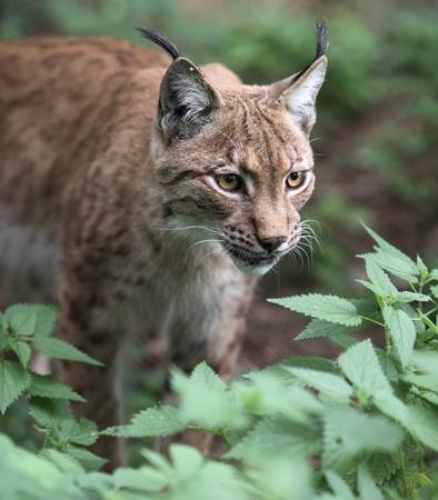 lince: Retrato de primer plano de un lince (Lynx lynx)